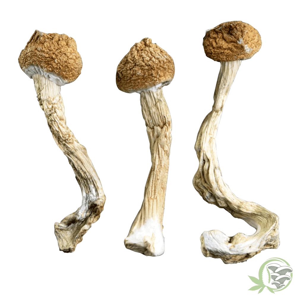 African Transkeis Mushroom at Sacred Meds