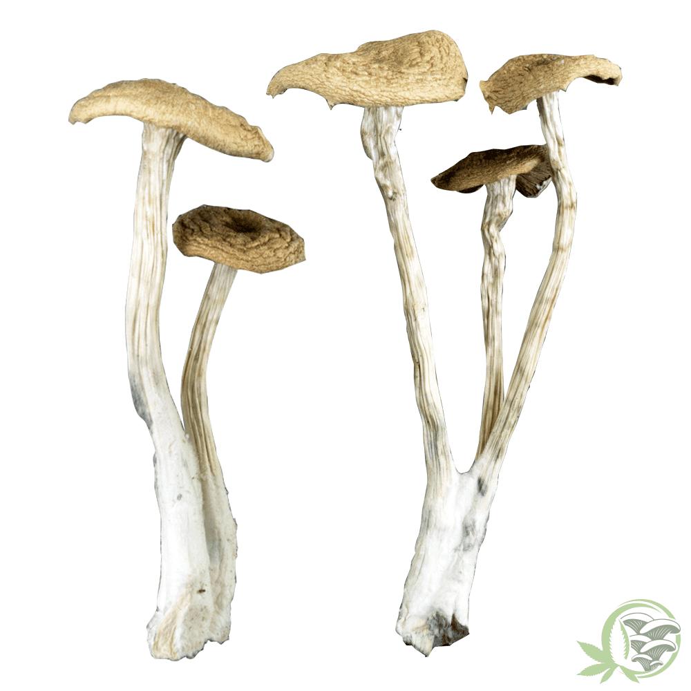 Alacabenzi Mushroom at SacredMeds