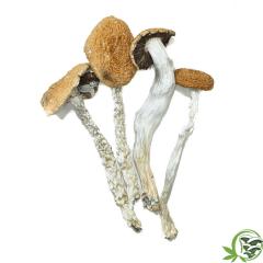 Magi c Mushrooms Daddy Long Legs Psilocybin Cubensis